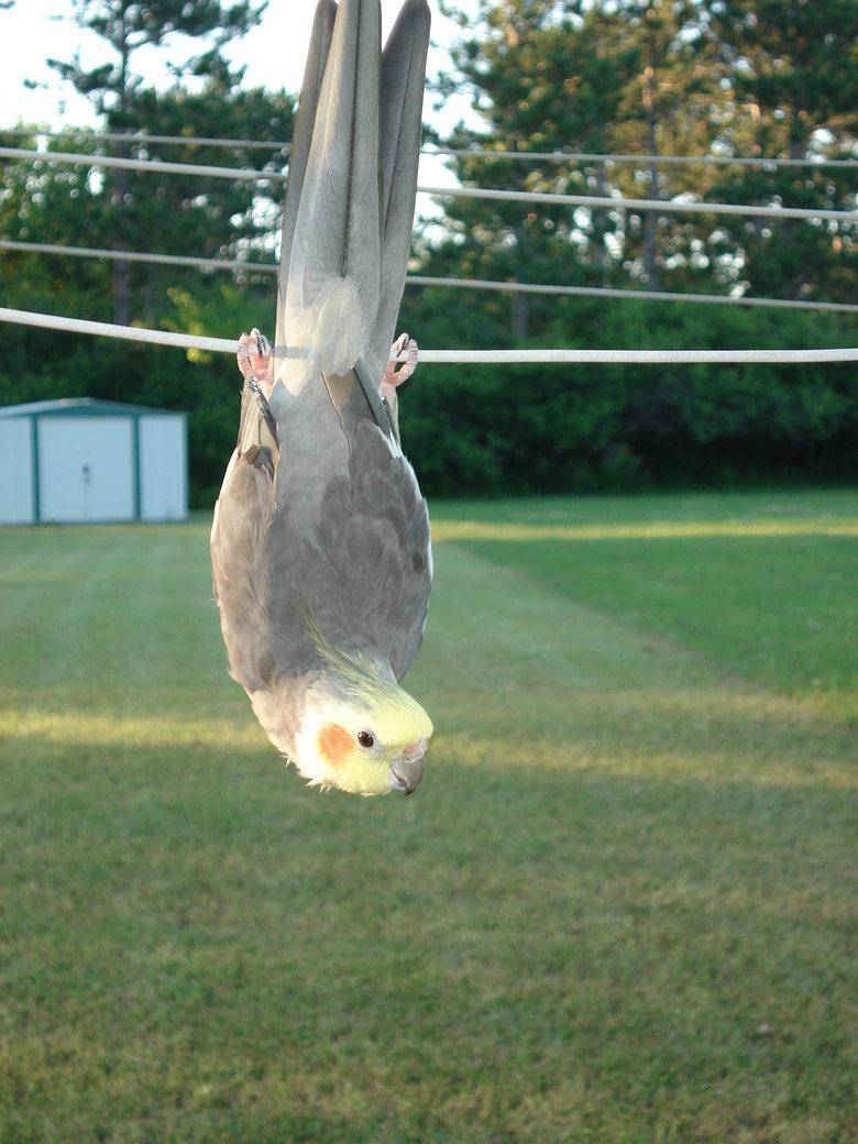 Batbird!. Bird hangin' upside down like a bat.