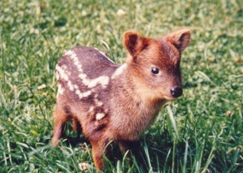 BAWWW. The Pudu: World's smallest deer. They live in bamboo thickets to hide from predators, and can weigh up to 12 kilograms (26 pounds).