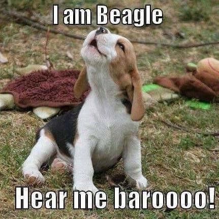beagle brand beagle. .. My Beagle likes to photo bomb.