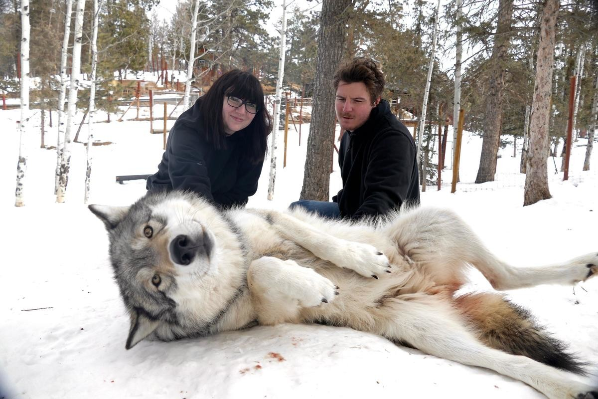 belly rubs. .. My GOD, I keep forgetting how enormous wolves are.