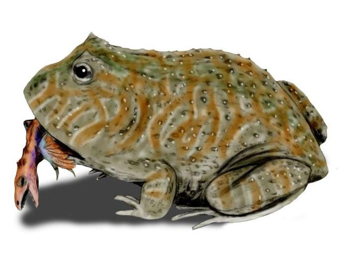 big frog. Name: Beelzebufo (Devil toad). Phonetic: Bee-el-zeh-boo-fo. Named By: Evans, Jones, & Krause - 2008. Classification: Chordata, Amphibia, Anura, Ne