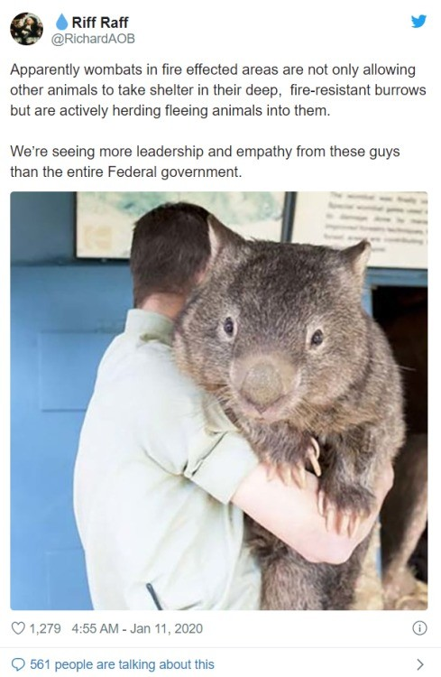 big goodest boys. .. I thought this was shopped. I did some research and it isn't. Apparently, this is Patrick, who, at age 29, is both the biggest and oldest wombat alive. They app