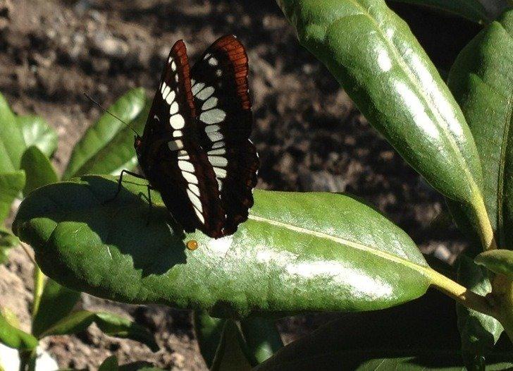 butterfly poop. .