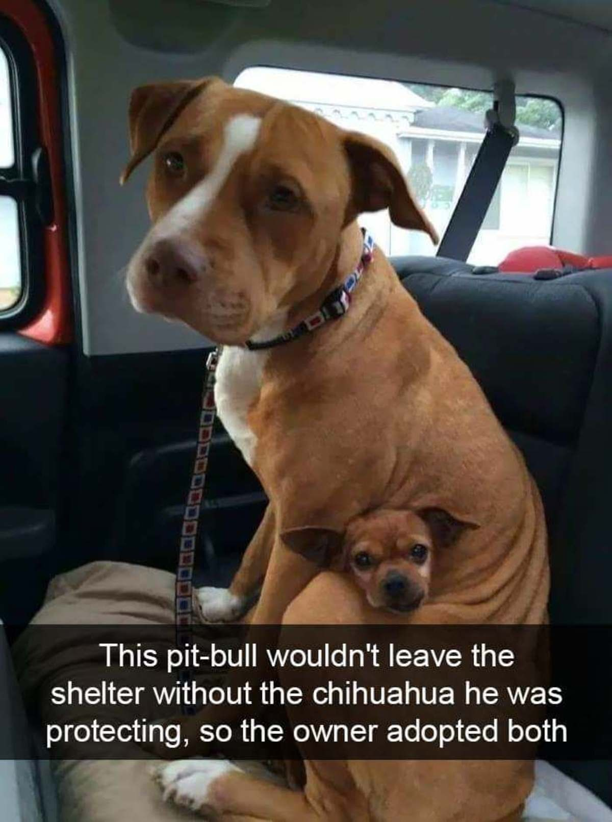 Doggo Dump. . This pittbull wouldn' t leave the) shelter without the chihuahua he was protecting, so the owner adopted bothl Inutai' v ' Before arid after I Sig