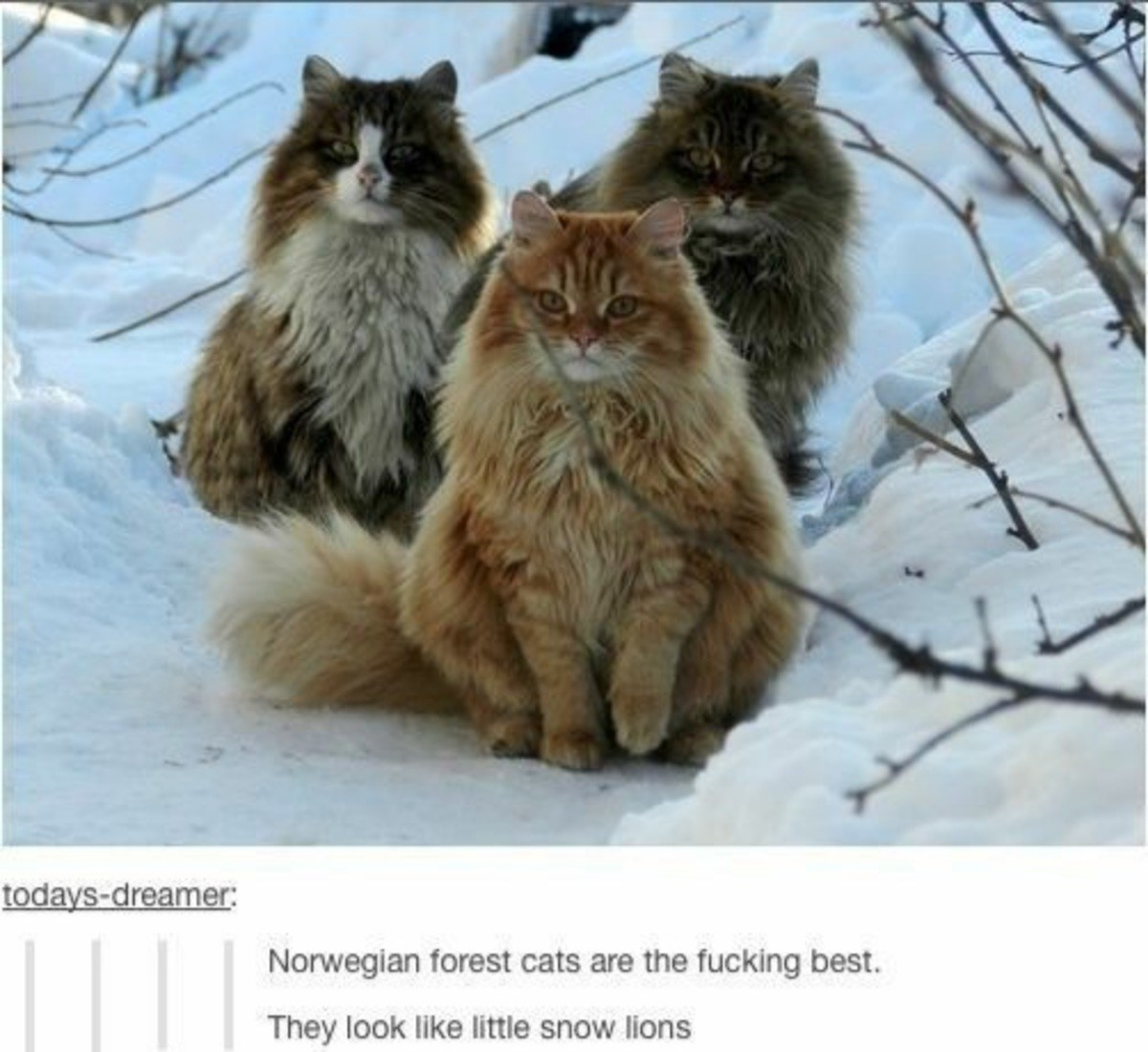 eight penitent human MemeBoys. .. Maine Coon Cats are better.