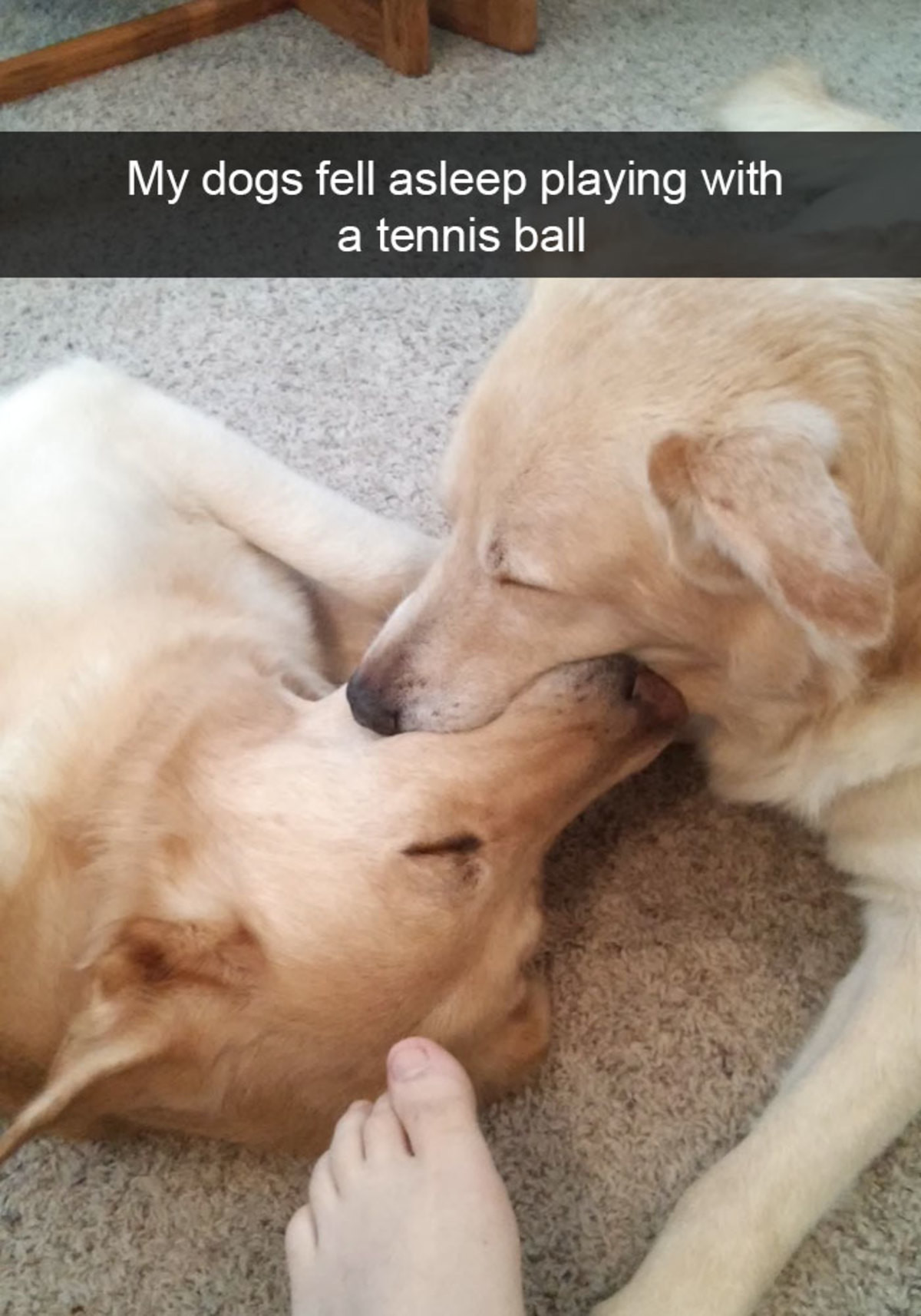 Hilarious Dog Snapchats. join list: CuteDogs (233 subs)Mention Clicks: 4485Msgs Sent: 28713Mention History. My dogs fell asleep playing with a tennis ballEvery