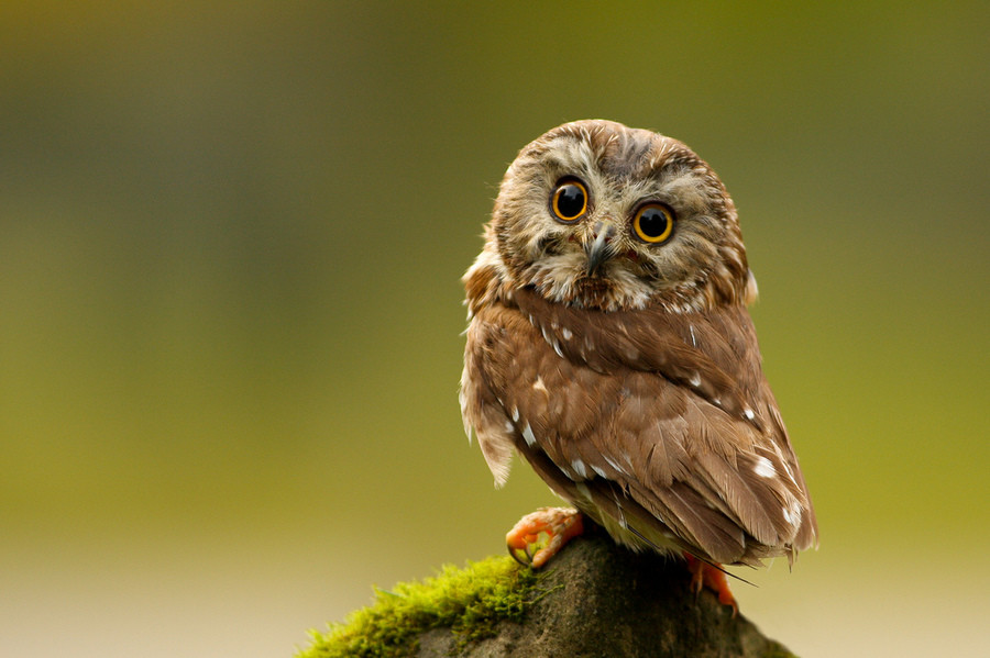 Northern Saw-whet Owl. .