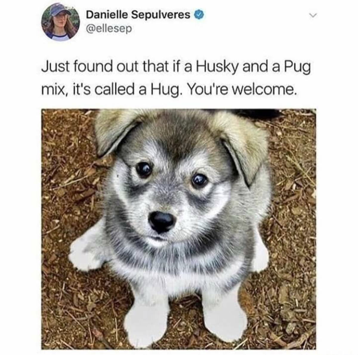 The cute canines. join list: CuteDogs (233 subs)Mention History. Danielle Sepulchres (tlt v Just found out that if a Husky and a Pug mix, it' s called a Hug. Yo