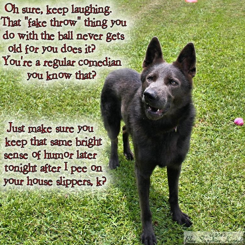 This is why your slippers are wet.. This photo of Smokey, our solid blue German Shepherd stud looked as if he was caught saying something. Something snarky. .. that dog aint blue.