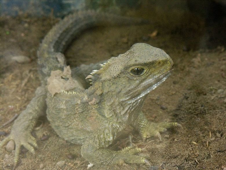 Weird Animals Comp!. This may look like just a normal lizard, but its not. Its a tuatara. They live in New Zealand, and they're a closer relative to dinosaurs t