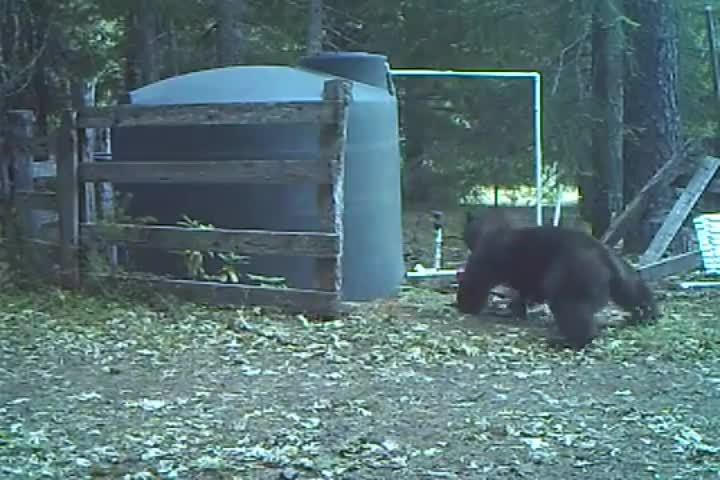 Bear hits himself in the nuts