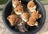 Bucket of Shiba pups